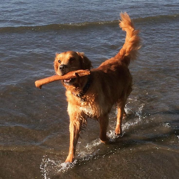#featurefriday is Lenny! He belongs to Sue one of our nurses. He is a very lucky man as has a bad heart condition tricuspid valve dysplasia and had a poor prognosis but he is now 5 years old and as you can see loving life! #castlevetsreading #castlevets #rdguk #goldenretrieversofinstagram #goldenretriever #vetpost via: #probeatzpromo