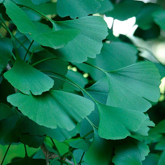 7 best ginkgo biloba images on Pinterest | Draw, Tree leaves and ...