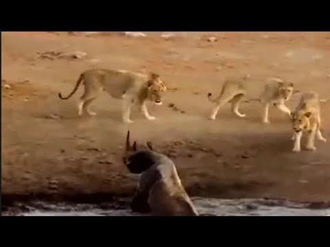 Nak 3 Lawan 1 yer.. Mula-mula Ingat Badak Tidak Dapat Lawan Balik Bila Badak Naik Atas Darat Habislah Semua Singa http://ift.tt/2sNqdUU