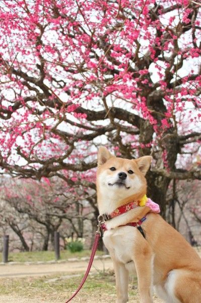 Sakura blossom tree and a Shiba Inu. :) I love those dogs, they're pretty.: