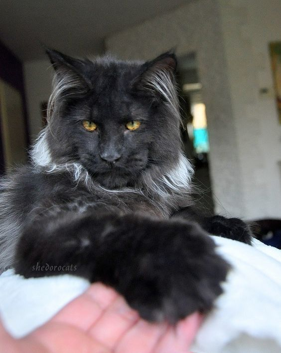 Wow. This guy is a Maine coon but he looks like a cross between a lynx and and black jaguar or something. Majestic.
