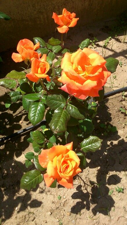 Όμορφα τριαντάφυλλα!