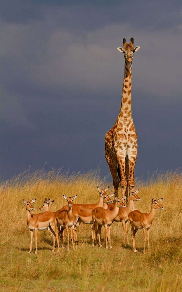 Giraffe and impalas, Masai Mara, Kenya.  Supervision in the wilderness by Claudia N. Schreiber-Jaeggi: Giraffe and impalas, Masai Mara, Kenya.  Supervision in the wilderness by Claudia N. Schreiber-Jaeggi