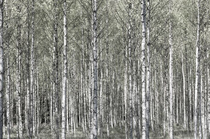 Spring Birch Forest - Wall Mural