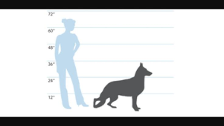 german shepherd height chart 1000 images about caring for german shepherd on pinterest 4827