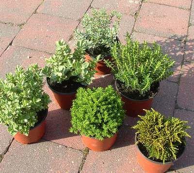 Hebe-Mix Green Boys-Pflanzen