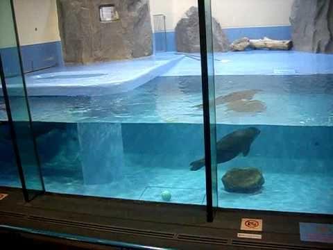 Best  swimmer Baikal Seal 全力競泳 バイカルアザラシ
