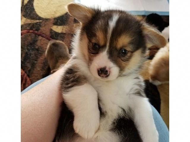 Everything We All Like About The Cute Pembroke Welsh Corgi Puppies