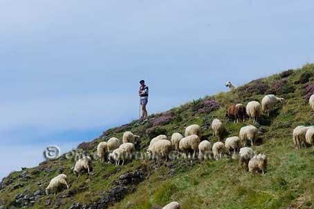 La transhumance marque le début de l'été dans la vallée, bergers et troupeaux  regagnent les pâturages en altitude. www.gourette.com
