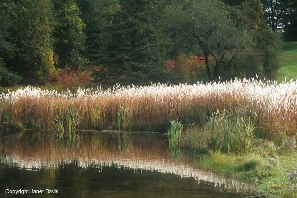 89 best images about grasses siergrassen on pinterest for Ornamental grasses for ponds