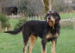 Griffon Nivernais Dog