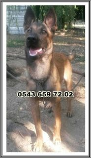 satılık yavru köpekler 0543 659 72 02: satılık belçika kurdu (malinois) yavruları 0543 65...