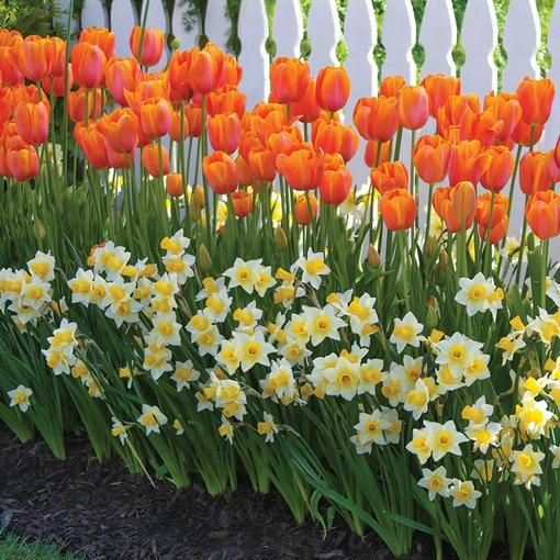 When this combination blooms next spring, your yard will be the envy of the neighborhood! Yellow Golden Echo daffodils and orange Dordogne tulips are a perfect choice for planting against a fence or along a front walk.