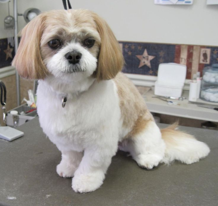 shih poo haircut styles 15 best pets images on pinterest shih tzus dogs and