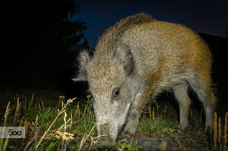 Wild boar by Marek Weisskopf on 500px