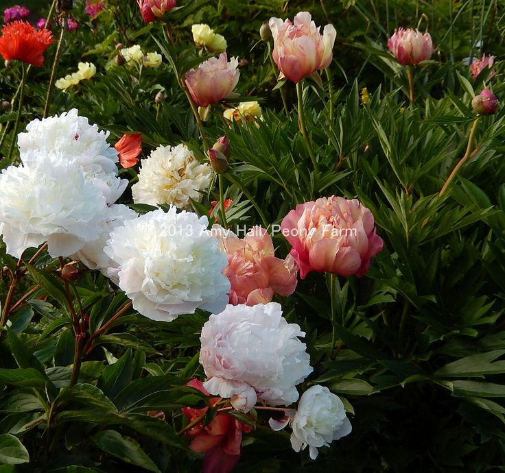Festiva Maxima Peony with Julia Rose Itoh Peony 2 lovely peonies growing side by side; gorgeous, Julia Rose looks like a watercolor painting