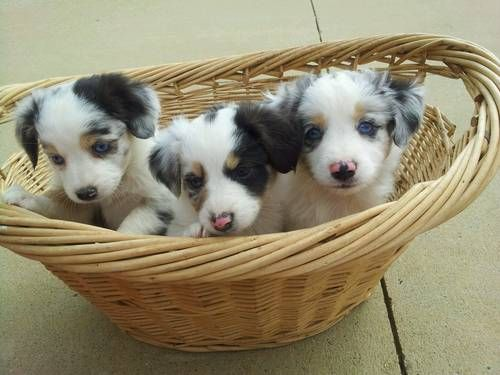 Australian shepherd pups. Nala's future baby brother or sister?