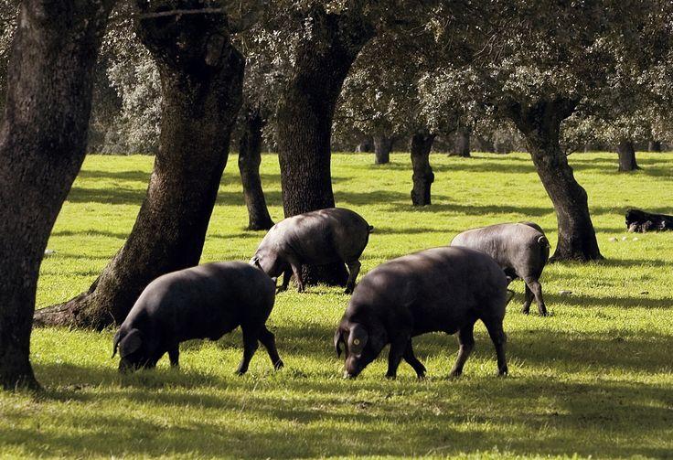 """Cerdo Ibérico """"Pata Negra""""."""