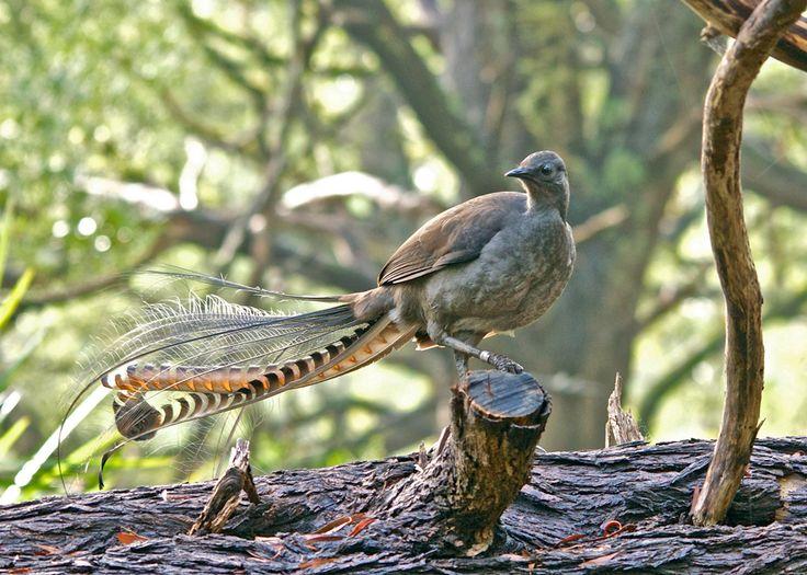 El asombroso caso de Chook, el ave lira del zoo de Adelaida