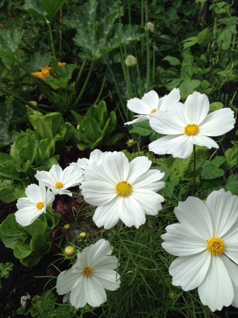 White cosmos amongst the home kitchen garden