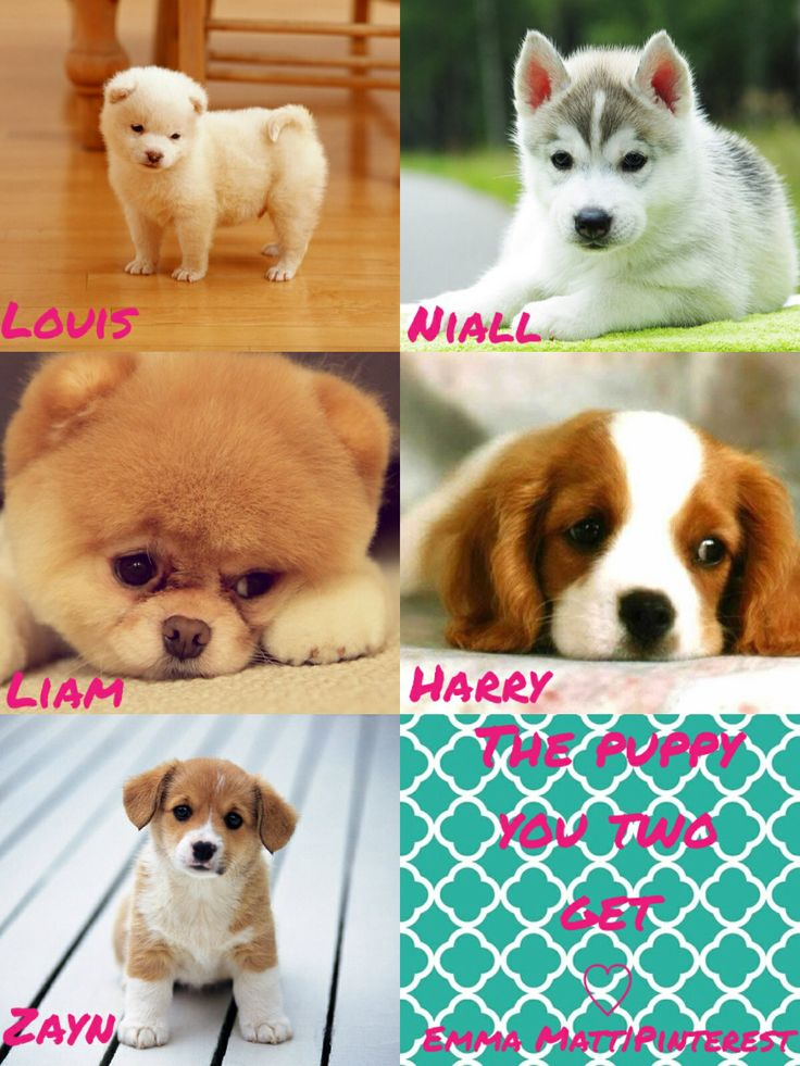 One direction preference -The puppy you two get NIALL LIAM and ZAYN!!