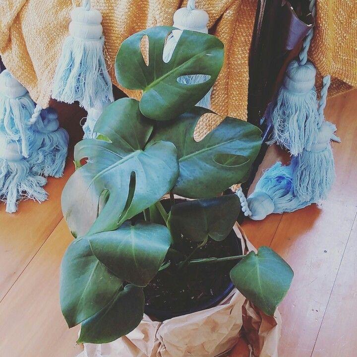 Monstera plant love