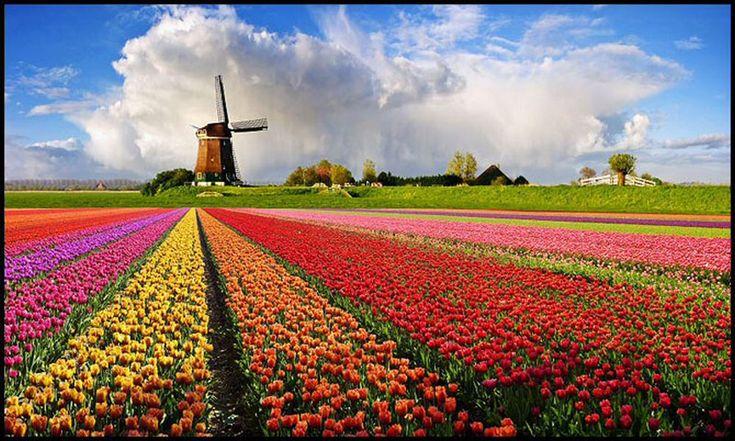 Szélmalom, facipő, bicikli, csatorna, tulipán, ugye mind egyre gondolunk: Hollandia. Tehát a tulipán nem csak egy virág, hanem Hollandia egyik jelképe is, melybe lépten-nyomon belebotlunk az egész országban.        Valójában Közép- vagy Belső-Ázsiából származik. Az Oszmán Birodalomban a tulipán volt az uralkodóház...