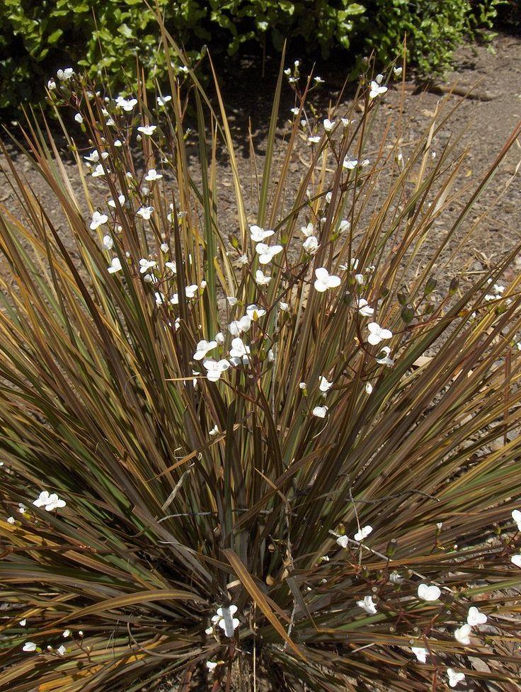 Libertia 'Taupo Sunset' - cultivar of Libertia ixioides