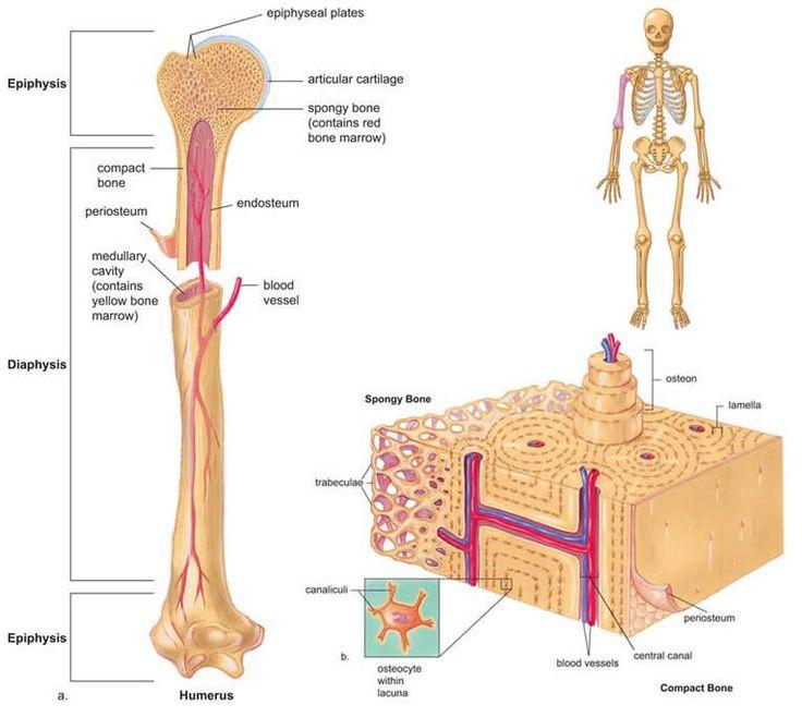 Mejores 23 imágenes de Bone en Pinterest | Sistema esquelético ...