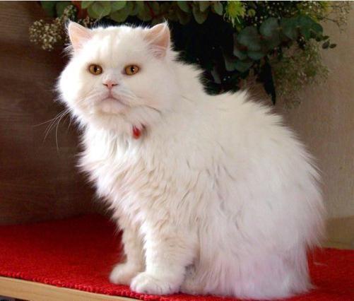 британские длинношерстные вислоухие кошки