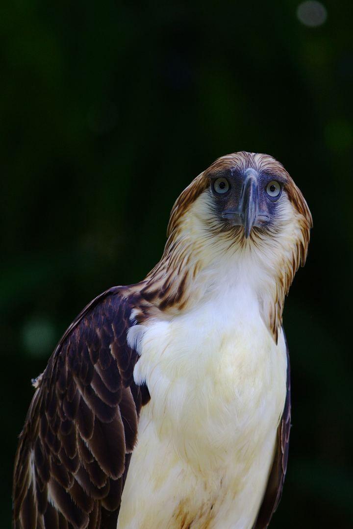 Филиппинский орёл, или гарпия-обезьяноед