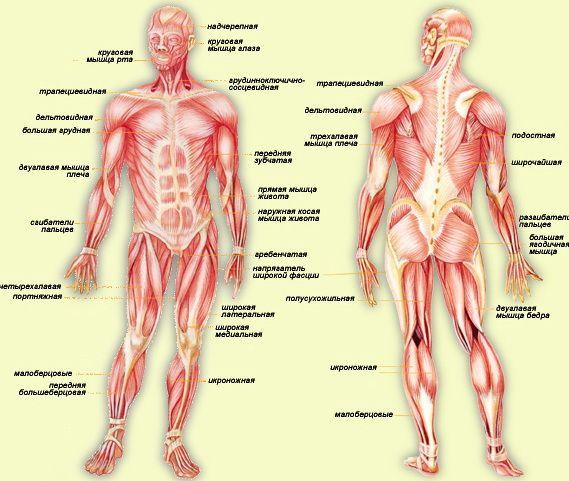 Картинки по запросу скелет человека с мышцами