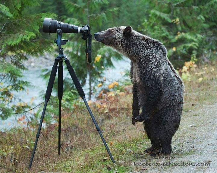 Natur photographer.... Serendipity and curiosity combined.... https://www.facebook.com/photo.php?fbid=10202494315953779&set=a.1487130392842.57167.1671393424&type=1&theater  and the entire story is here:    http://globalnews.ca/news/1650773/photo-of-grizzly-bear-photographer-goes-viral/