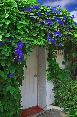 Morning Glories!  We have ONE morning glory that took over a 30 ft long block wall in a year..  It is beautiful in the spring and summer..