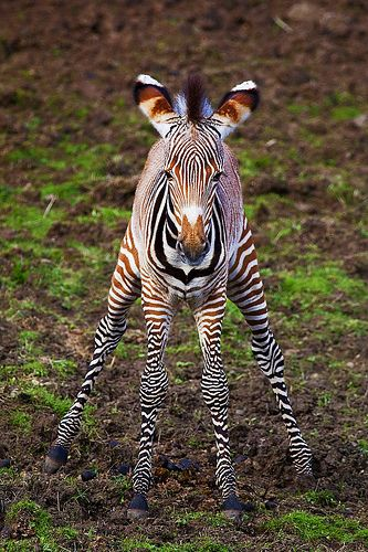 ~~Doing the Splits | Zebra calf by sparky2000~~