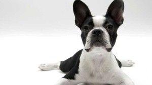 Nombres de razas de perros pequeños ideales como mascotas
