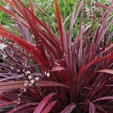 152 best images about my outside on pinterest gardens for Perennial grasses red