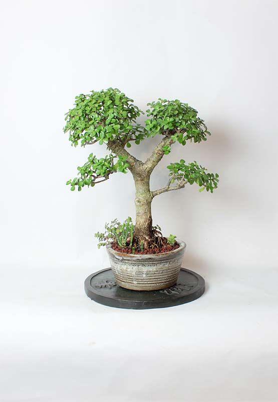 Dwarf Mature Jade Bonsai Tree by LiveBonsaiTree on Etsy, $149.00