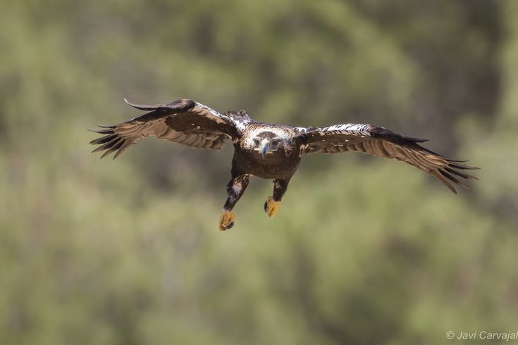 Uno de los últimos lances que nos ha ofecido el Águila imperial ibérica en nuestros hides esta semana...Gracias a Javier Carvajal por compartir su experiencia en Alpasin.