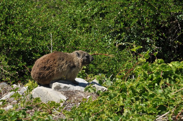 In addition to discovering the vegetation, you will also meet animals at the Fernkloof Nature Reserve. For instance, it isn't rare to see Rock Hyrax, also called Dassies, hidden behind a thicket.  If you take time to explore the park, you will probably see several of them!