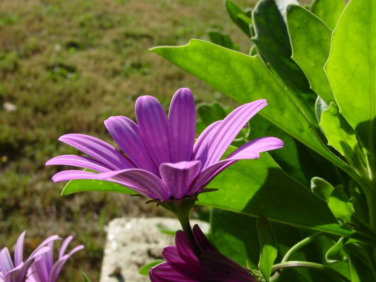 flor Valdiviana