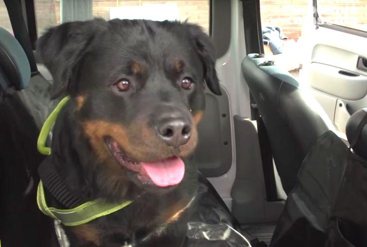 PERROS - ¿Cómo viajar con el perro en el coche? Especial perros medianos...