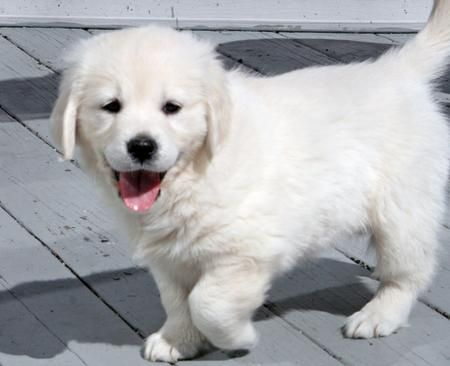 Cream Golden Retriever!!!! What we'll be getting!