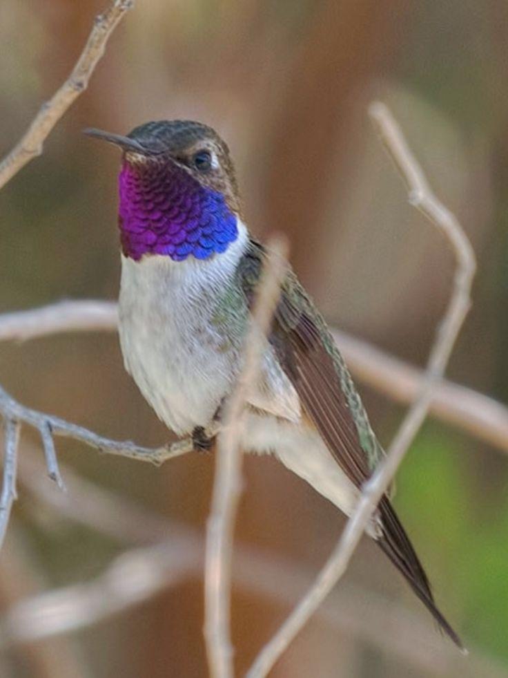 Chilean Woodstar, Eulidia yarrelli : restricted to far N-Chile : (c) José Cañas A. : neotropical.birds.cornell.edu