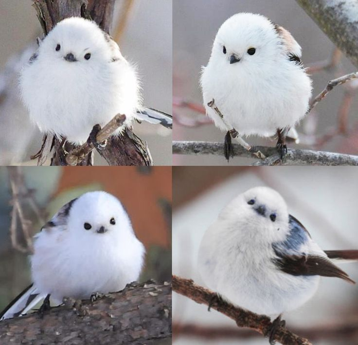 This little birdy is a Korean crow-tit and it looks like a fluffy cotton ball with tiny wings - more at megacutie.co.uk