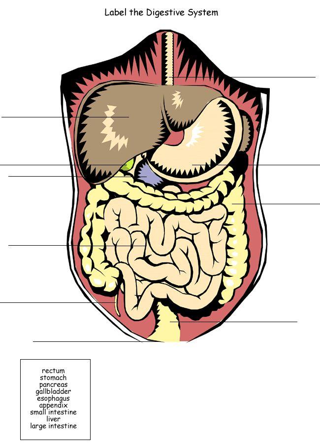 Homeschool Helper Online's Free Digestive System Worksheet Worksheet