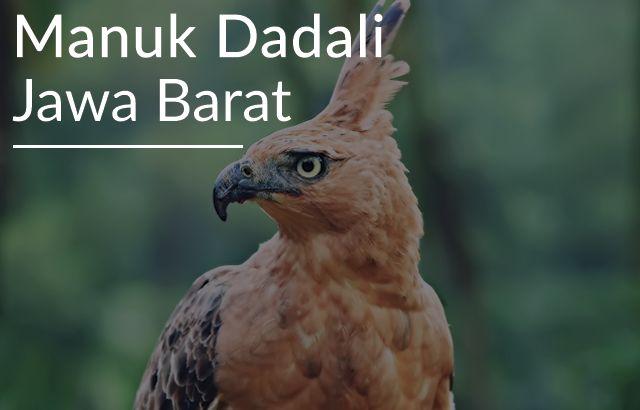 Lirik Lagu Manuk Dadali Jawa Barat Elang Hewan Langka Gambar Hewan