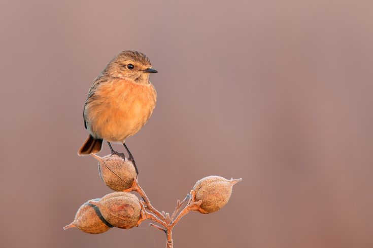 Magic Dawn - Stonechat - shot from car , Tuscany Dawn