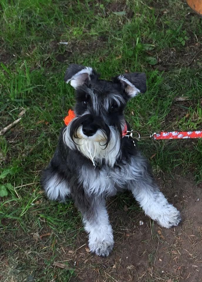 Micci In The Uk Schnauzer Puppy Mini Schnauzer Puppies I Love Dogs