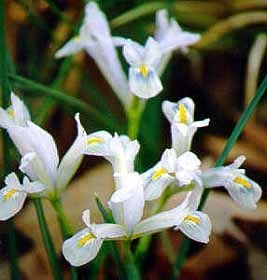 Dwarf Iris: Iris reticulata and Iris danfordiae, 4-6 inches in height.  Planted among azaleas, it's a lovely look and can fill in the spots that are too narrow for the larger plant.